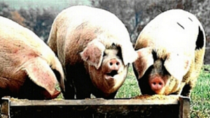 """""""The creatures outside looked from pig to man, and from man to pig, and from pig to man again; but already it was impossible to say which was which."""""""